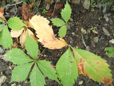 Poison Oak and Gumweed | (277) Beware - Poison Plants