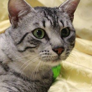 The Place That S All About Pets Egyptian Mau Cat Breeds Cats