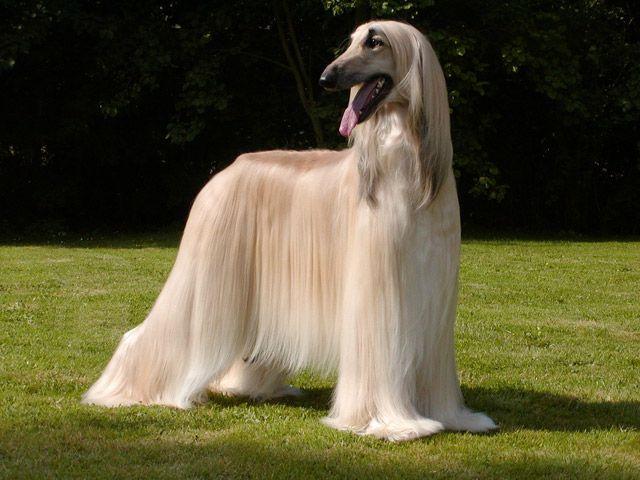 Levrier Afghan Race Canine Originaire D Afghanistan Levrier Afghan Races De Chiens De Chasse Levrier