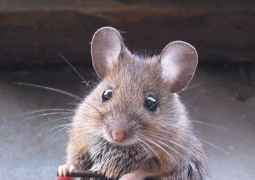 cute mice I like to pet things Pinterest Funny, Funny animals