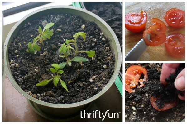 Growing Tomatoes From Slices Growing Seeds Tomato Garden