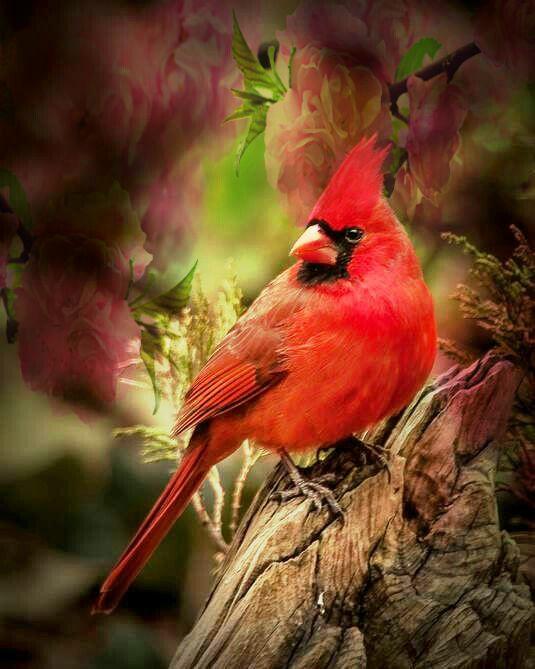 Pin By Lucho Torres On Birds Everywhere Cardinal Birds Bird Pictures Pet Birds