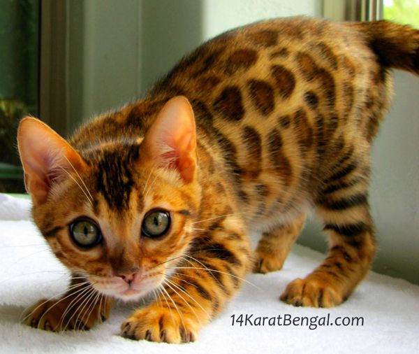 10 Things You Should Know Before Getting A Bengal Cat Bengal