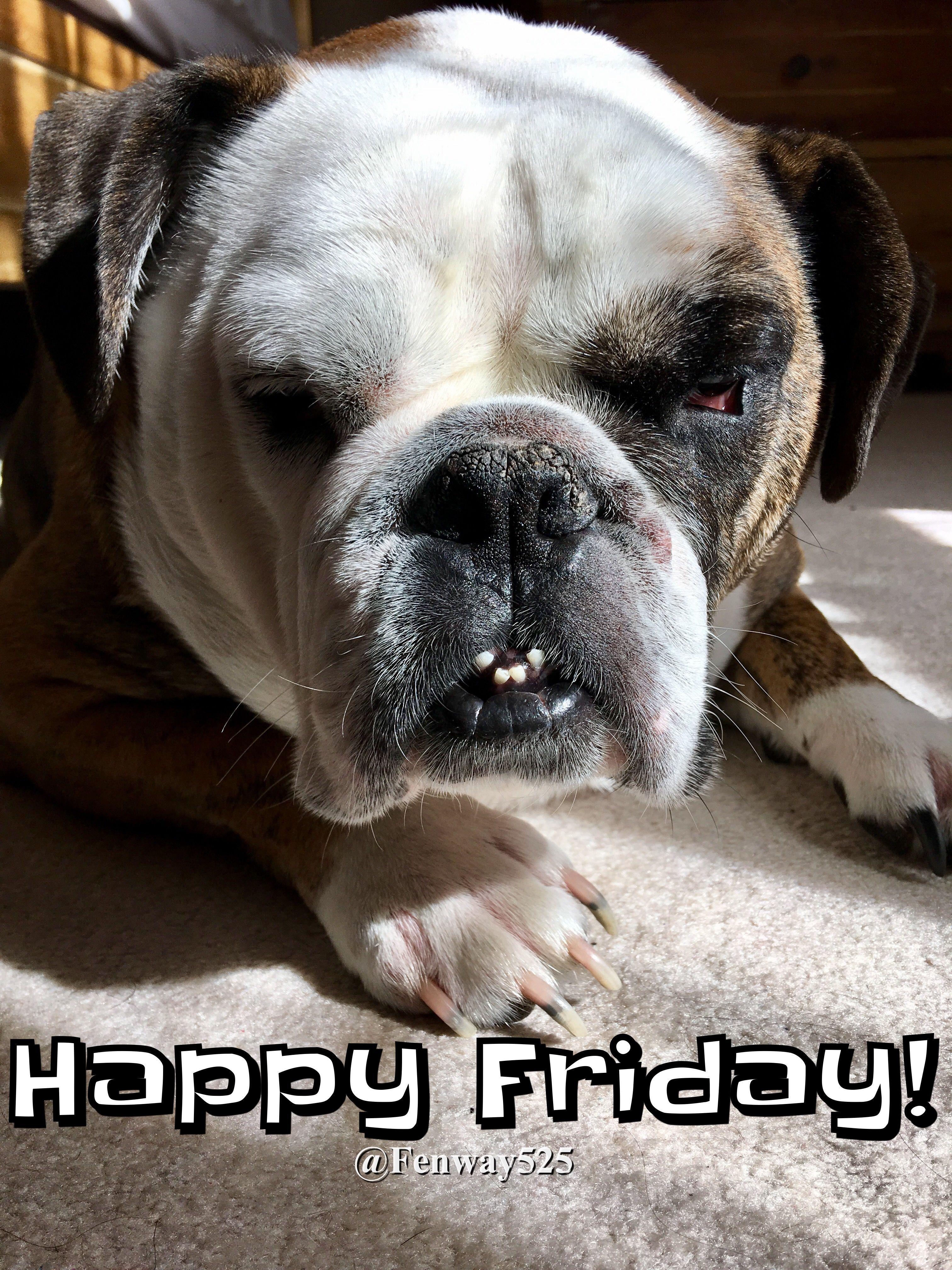 07apr17 fenway bulldogs happy friday bulldog happy
