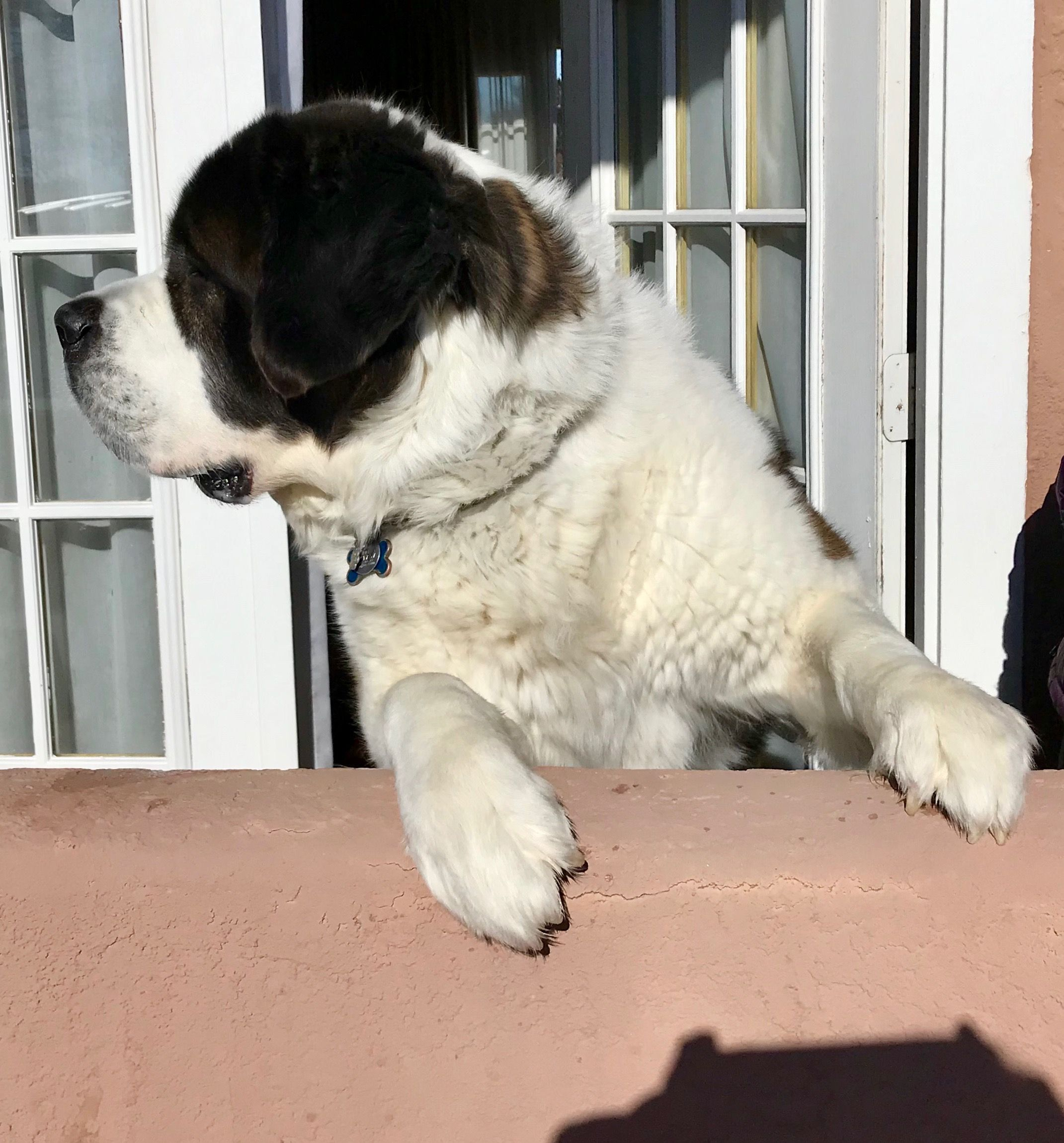 Who Goes There Mr Watson In Santa Fe Nm Saint Bernards