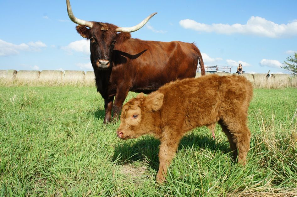 Http Learngrowconnect Org Scottishhighland Calf Animals Calves
