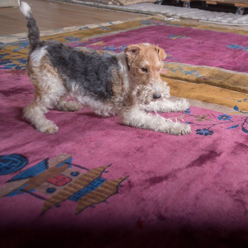 Bebe Says Happy Wednesday Cute Dogs And Puppies Fox Terrier Wire Fox Terrier