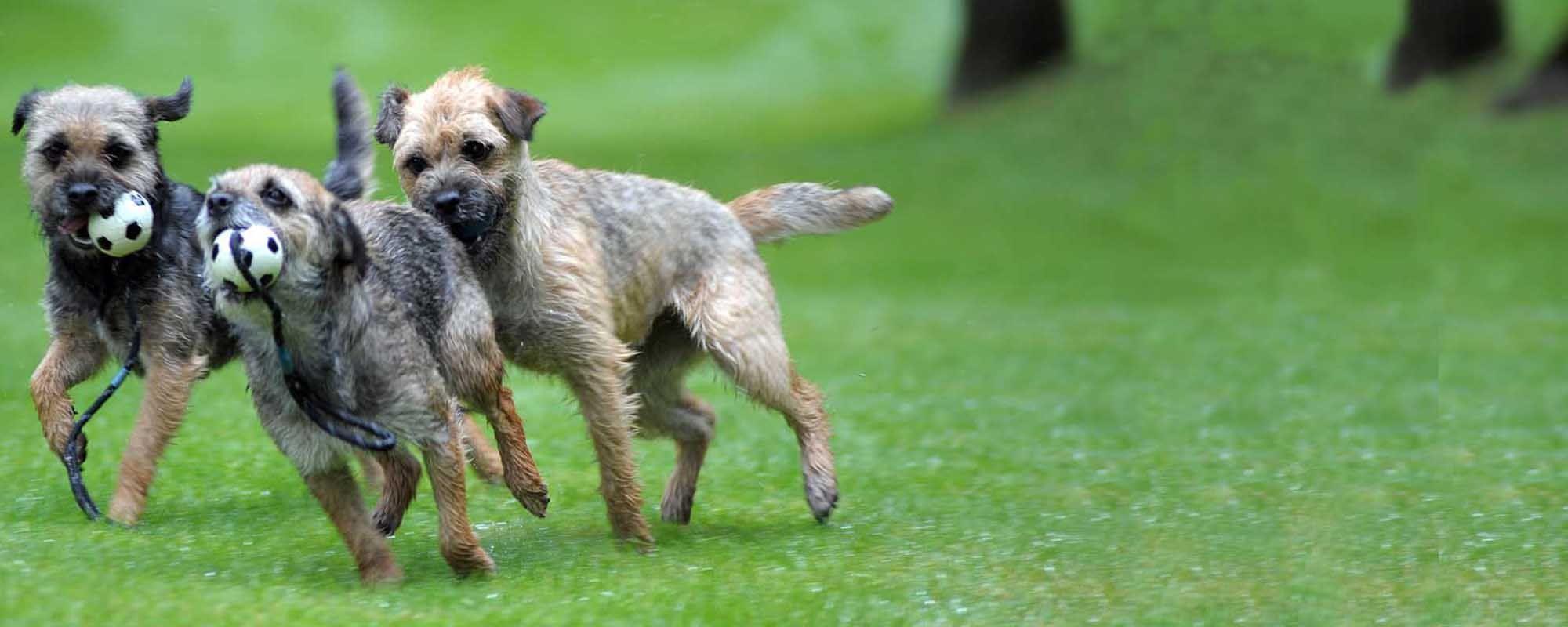 Border Terrier Shows Borderterrier Org Uk Border Terrier