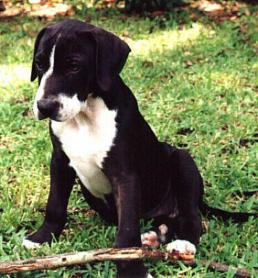 Black and white Catahoula puppy    The Louisiana Catahoula