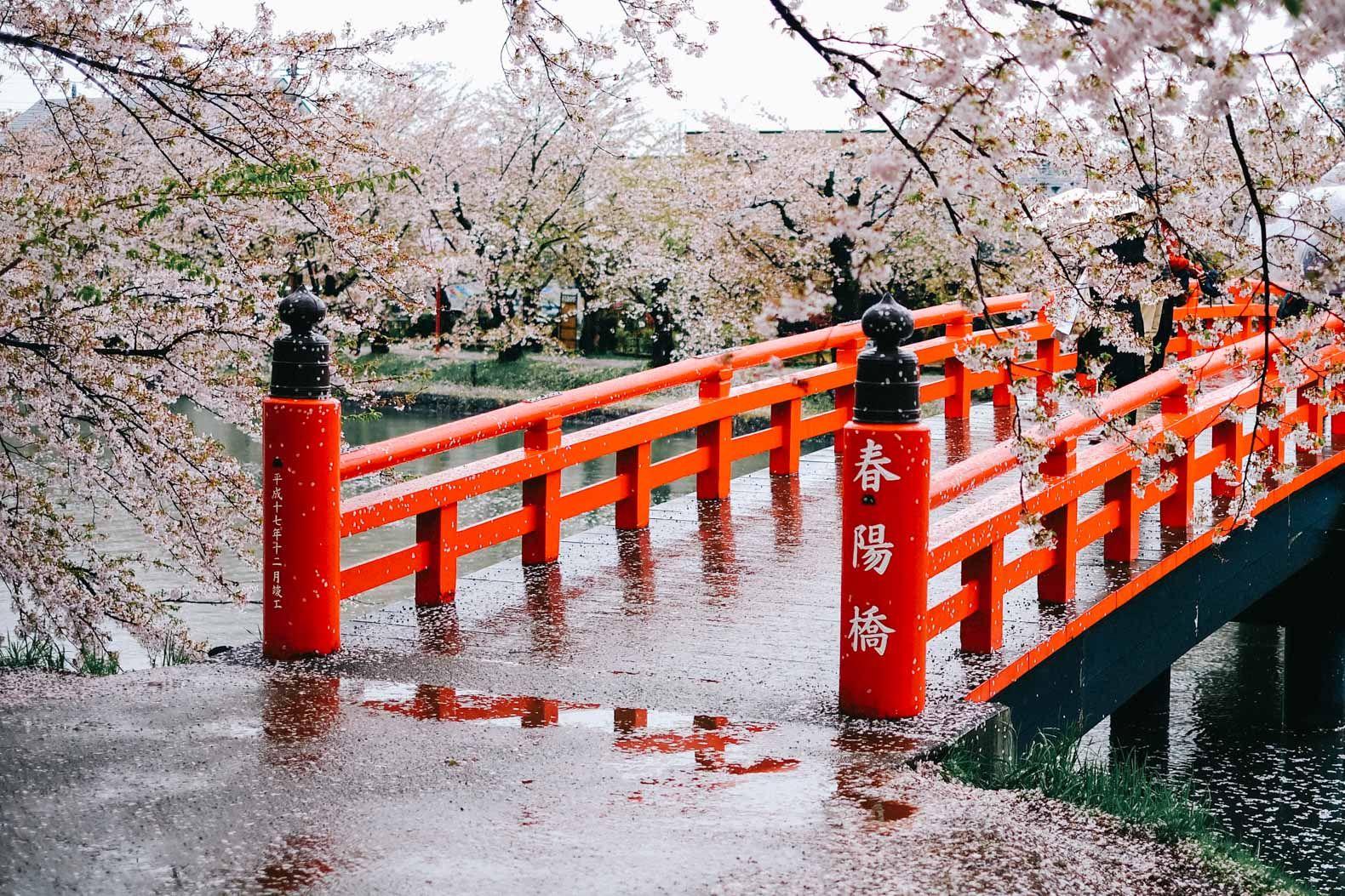 Northern Japan S 2 500 Tree Cherry Blossom Wonderland Cherry Blossom Japan Cherry Blossom Cherry Blossom Festival
