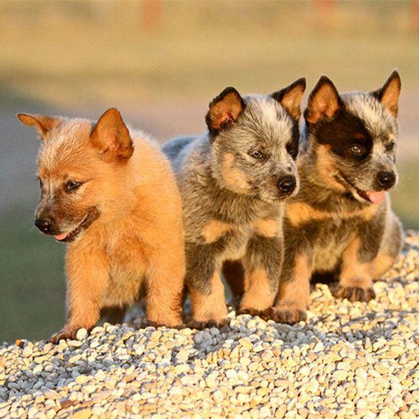 Photos Of Blue Heeler Puppies Australian Cattle Dog Puppy