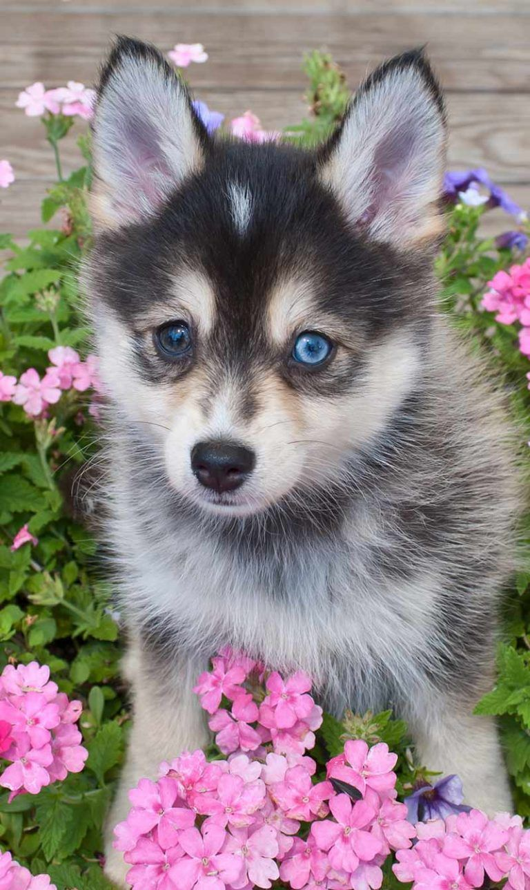 Pomsky Dog Everything You Need To Know About Pomskies Pomsky Puppies Pomsky Dog Cute Dogs And Puppies