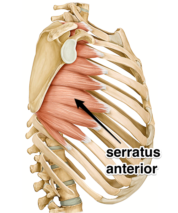 The Serratus Anterior Muscle Spieren Pinterest Muscles