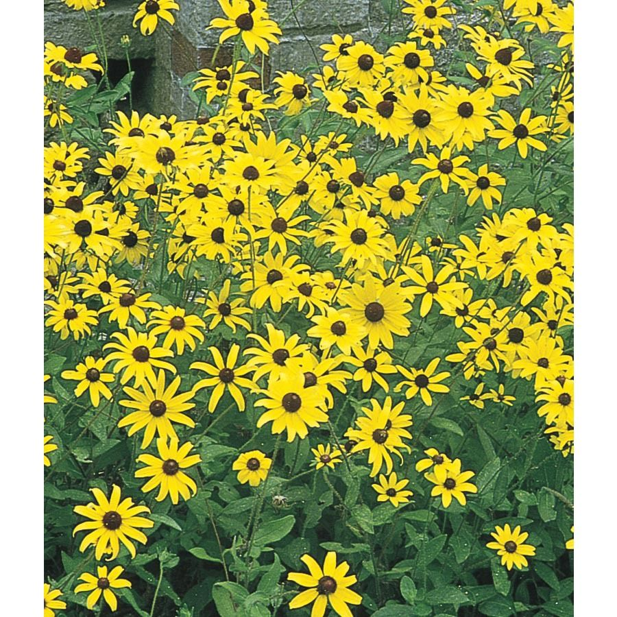 Black Eyed Susan Deep Yellow Flowers With Dark Center Easy To