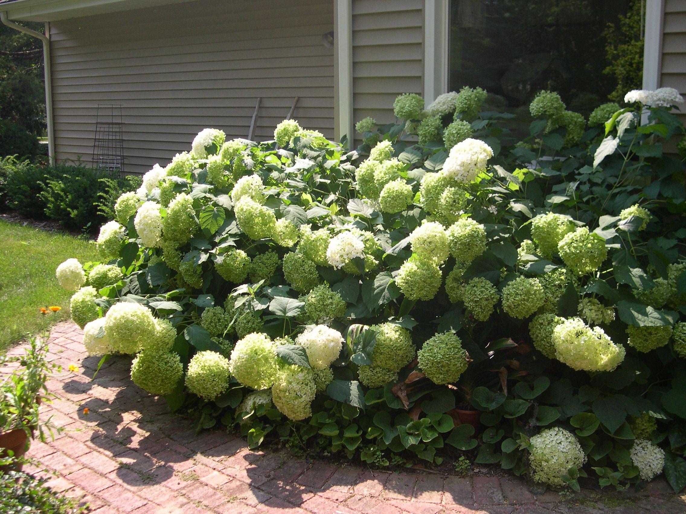 green hydrangea bushes - Google Search