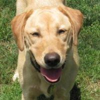 How To Train A Dog To Shake Hands Dog Training Labrador