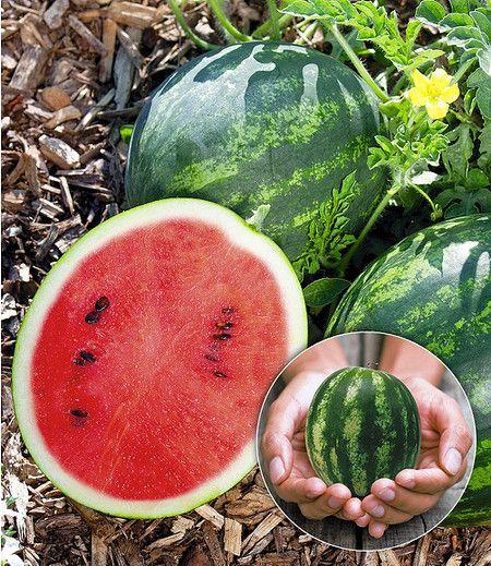 Wassermelone Pflanzen Kaufen : mini wassermelone mini love 1pflanze melonen pflanzen mini wassermelone wassermelone pflanzen ~ Watch28wear.com Haus und Dekorationen