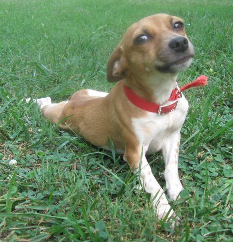 Adopt Princess on Rat terrier mix, Terrier mix dogs, Rat
