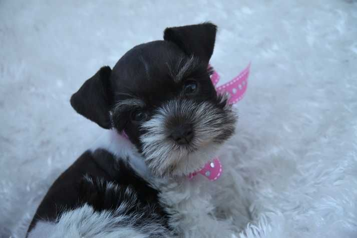 Toy Teacup And Miniature Schnauzer Puppies For Sale Oklahoma Schnauzer Puppy Cute Animals Puppies