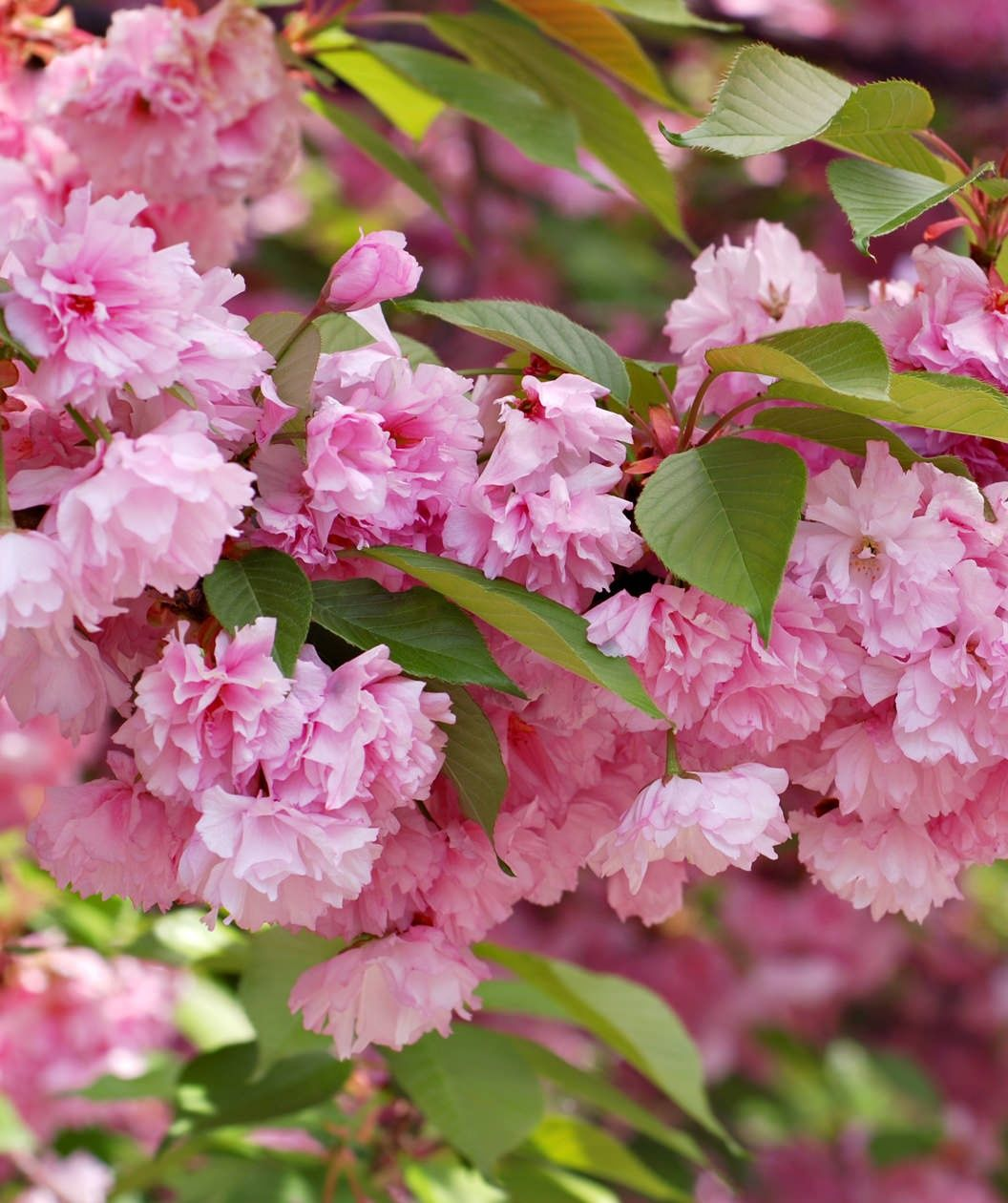 Kwanzan Cherry Tree Unreal The Clusters Of Blooms Make It Look