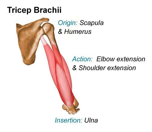 Image Oitricepbrachii For Definition Side Of Card Anatomie