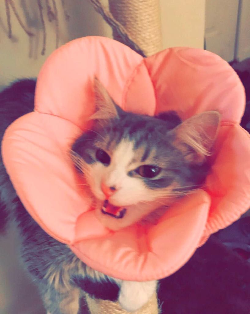 Had To Get My Kitten A Cone Now Shes A Little Angry Flower Girl Cute Cat Kitten Kittens
