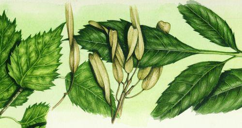 Lizzie Harper botanical illlustration of ash keys copyright Jersey Post