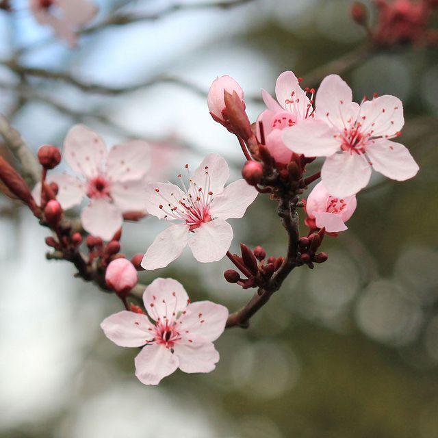 Sakura Square Cherry Blossom Flowers Cherry Blossom Art Cherry Blossom Wallpaper
