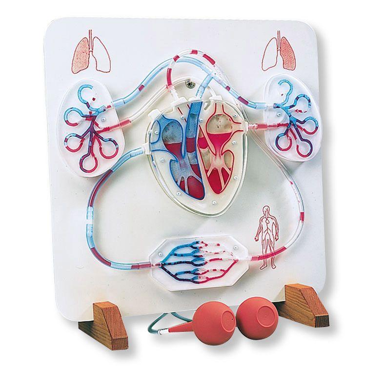 Función del corazón y el sistema circulatorio | Study | Pinterest ...