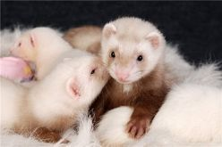 Ferret with Red Eyes and A Pink Nose