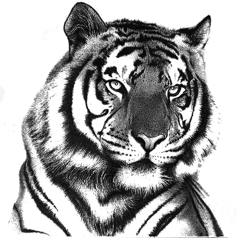 Pencil Sketch Tiger