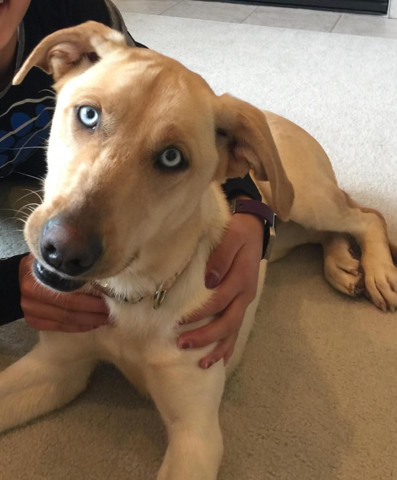 Adopt Ember on (With images) Yellow labrador retriever