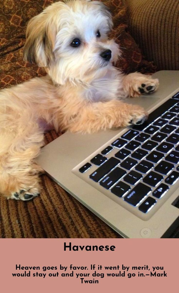 7 Best Dogs Breeds For People Allergies Havanese Havanese Puppies