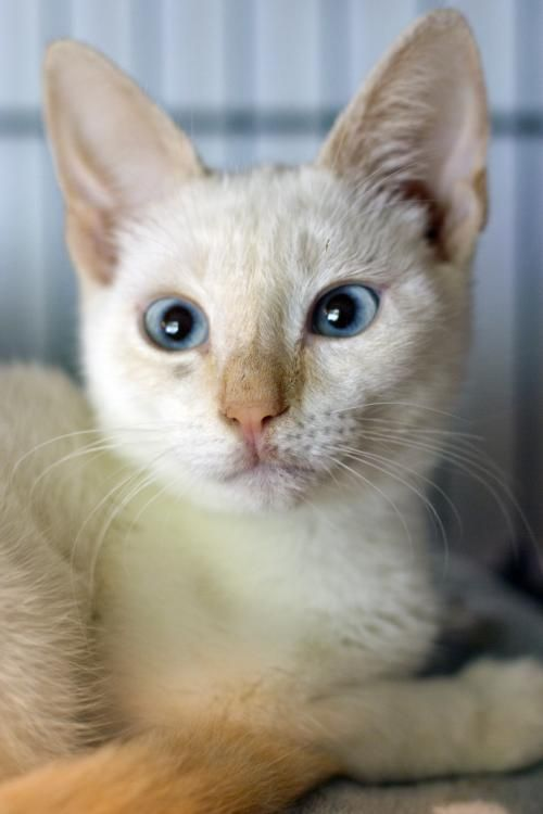 Meet Styles A Gorgeous Flame Point Siamese Kitten Available For
