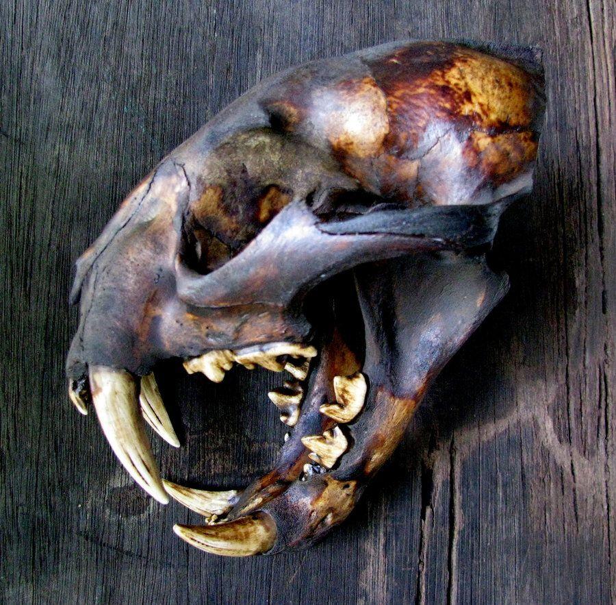 Bornean Clouded Leopard Teeth Clouded Leopard skull ...