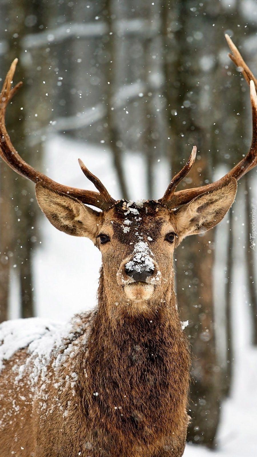 Pin By Veronika Strebovska On Tapety Na Telefon Tapeciarnia Pl Deer Wallpaper Deer Pictures Winter Animals