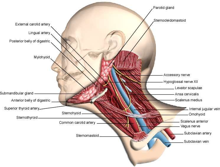 Neck And Throat Anatomy External Carotid Artery Lingual Artery