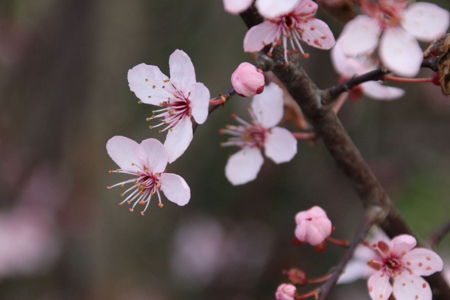 Yoshinos Aren T The Only Cherry Out There It S Worth Knowing And Growing These Others Https Wapo S Cherry Blooms Flowering Cherry Tree Small Urban Garden