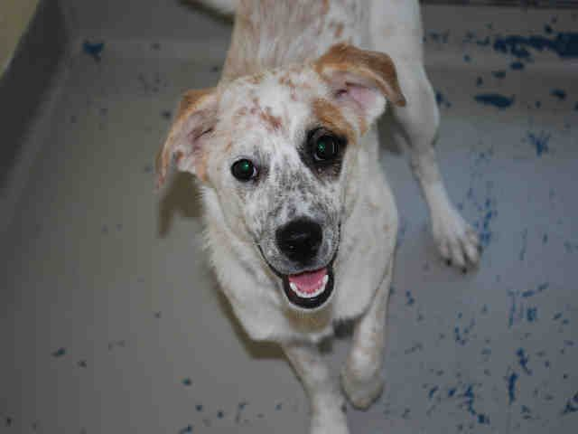 Meet Ella This Adorable Little Cattle Dog Mix Is Pint Sized At Only About 25lbs She Is White With Red Merle E Cattle Dogs Mix Dog Adoption Canine Companions