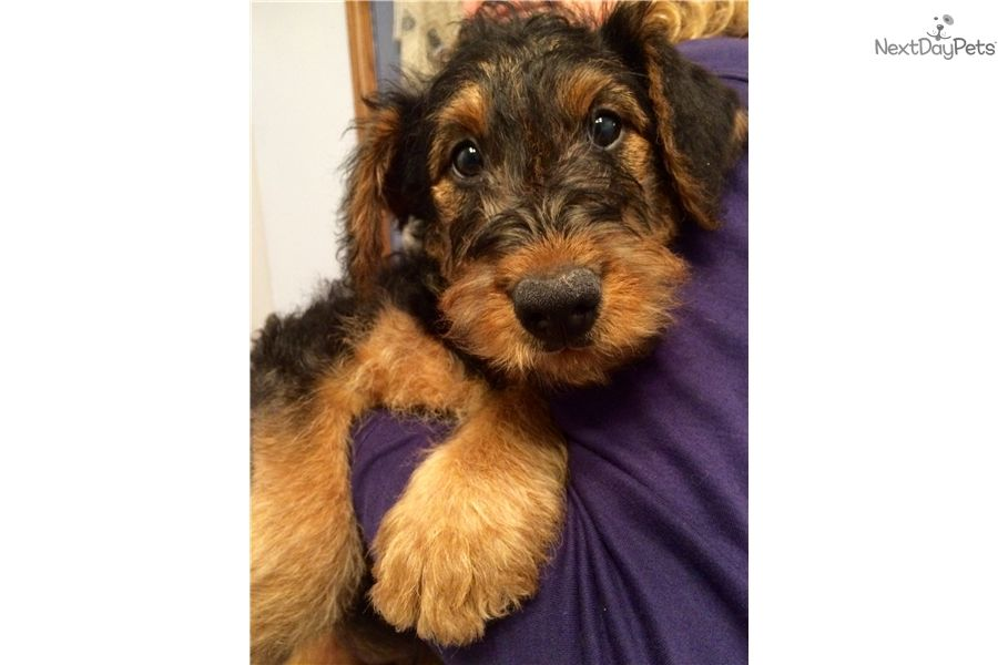 I Am A Cute Airedale Terrier Puppy Looking For A Home On Nextdaypets Com Dog Breeder Airedale Terrier Puppies Puppies