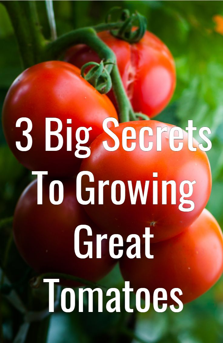 My 3 Big Secrets To Growing Tomatoes  Grow Great Tomatoes This Year