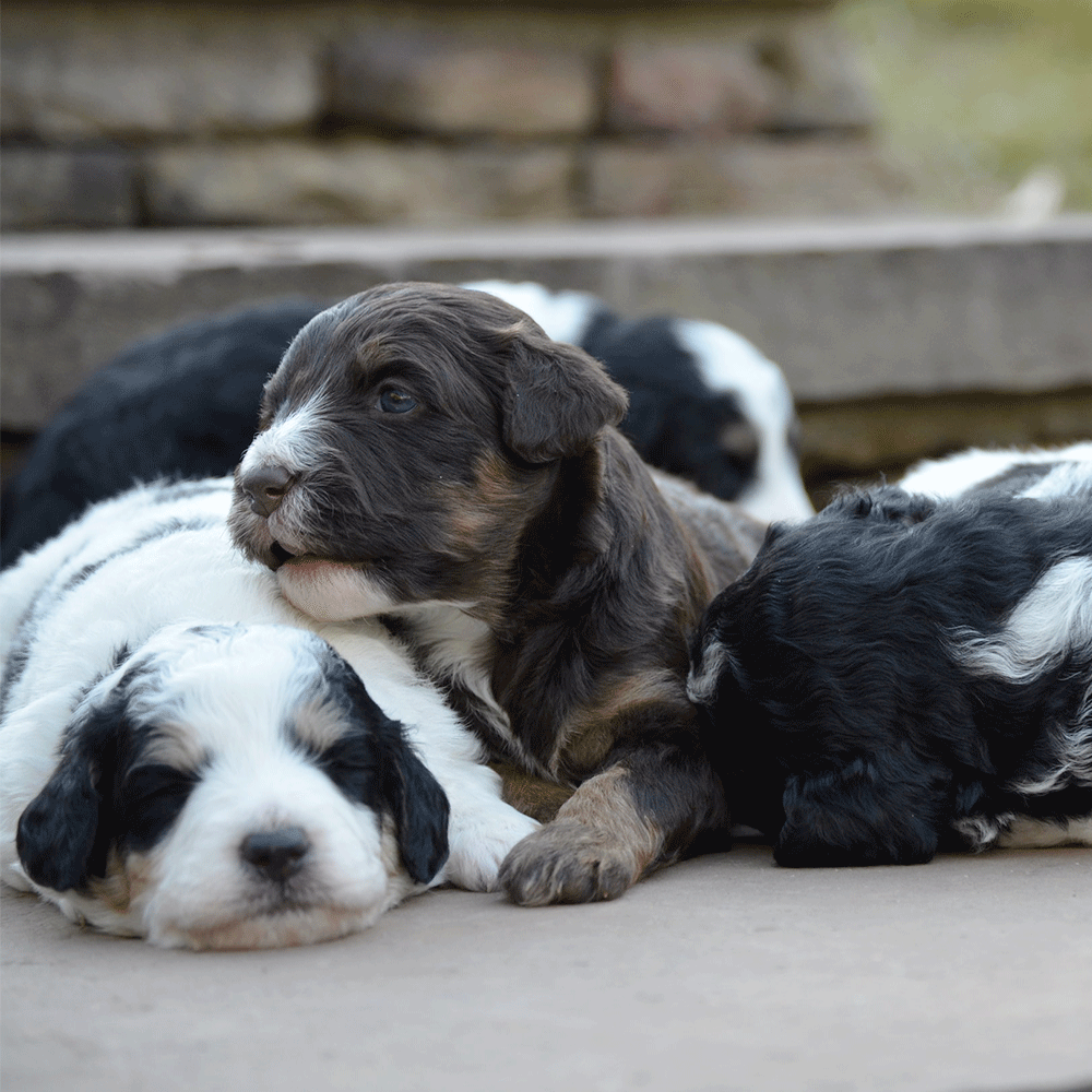 Swiss Doodle litter - best combo of Bernedoodles and