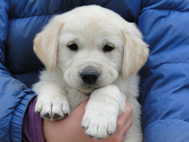 Goldador Puppies In Virginia