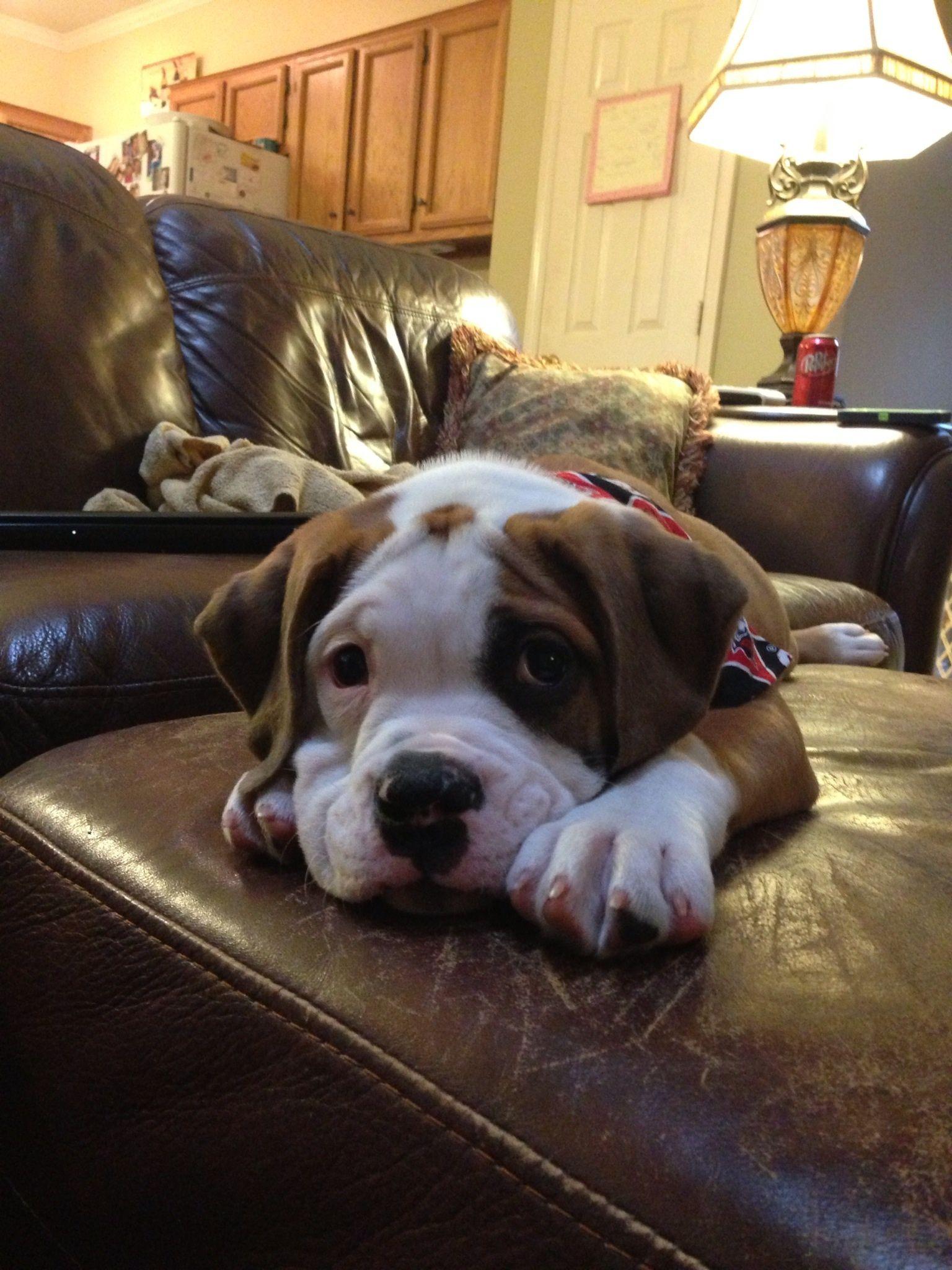 Zoe The Valley Bulldog Puppy English Bulldog And Boxer Mix