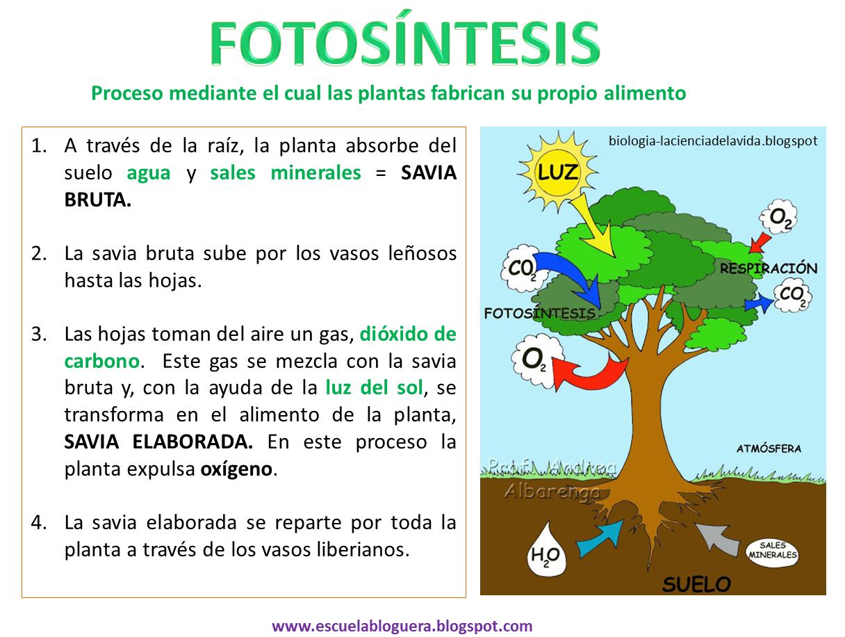 Escuela bloguera: Fotosíntesis/respiración de las plantas | escuela ...