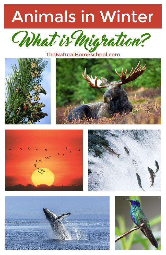 Animal Migration in Winter What is Migration Animal