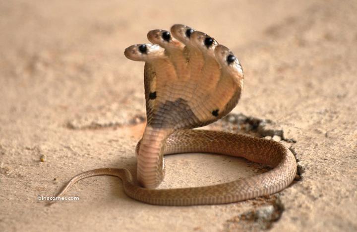 Five Headed Snake I Don T Know Snake Images King Cobra Snake Snake
