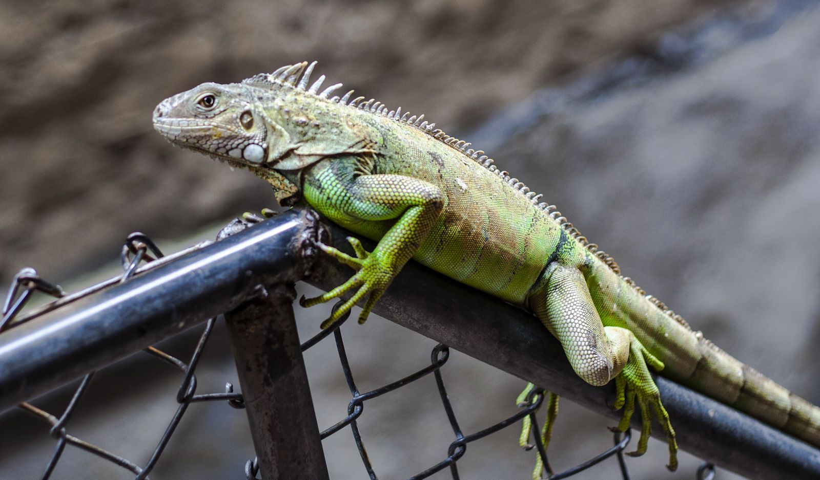 A dragon in the backyard.   Animals friends, Animals, Lizard