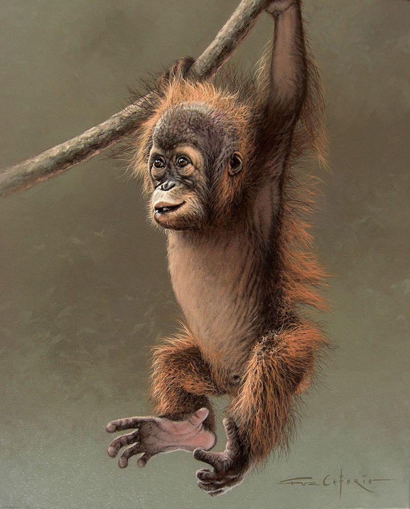 hanging on baby orangutan by fuz caforio on