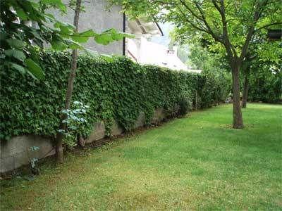 Enredaderas tipos buscar con google jardiner a for Arboles de jardin de crecimiento rapido